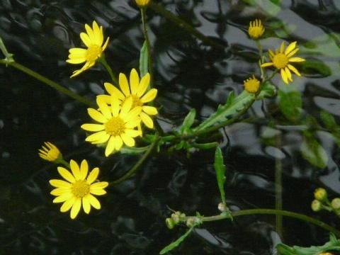 Marsh Ragwort: poisoned lies | The Nature of Dorset