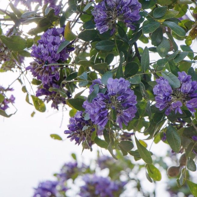 If there is a contest between Texas mountain laurel Sophorahellip
