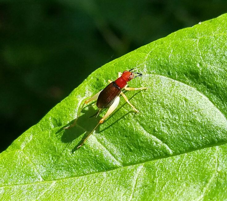 Red and yellow cricket