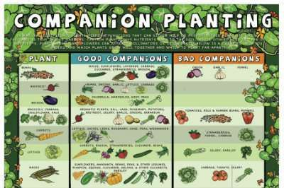Companion Planting Chart by Afristar | Buy poster here