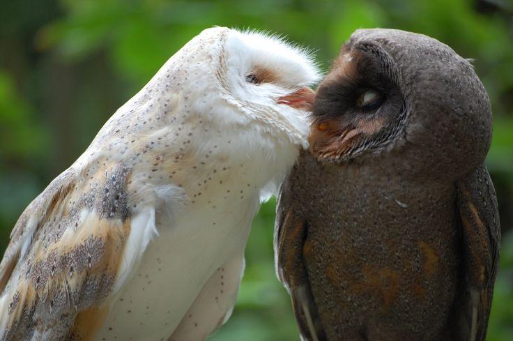 Küssende Schleiereulen - A normal and a melanistic Barn Owl from Germany So pretty