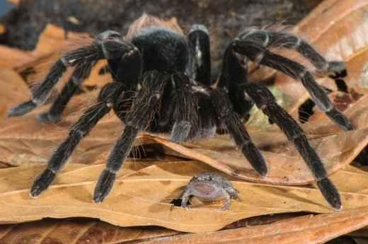 Scoperto il particolare rapporto che unisce una potenziale preda ad un fantastico predatore In questo articolo si parla della scoperta, in più anni, del rapporto mutualistico tra alcune specie di ragno molto grandi, ed alcune potenziali prede, nella fattispecie rane. Questo rapporto a quant #ragno #rana