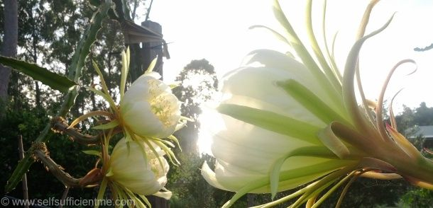 Dragon fruit flowers at sunrise
