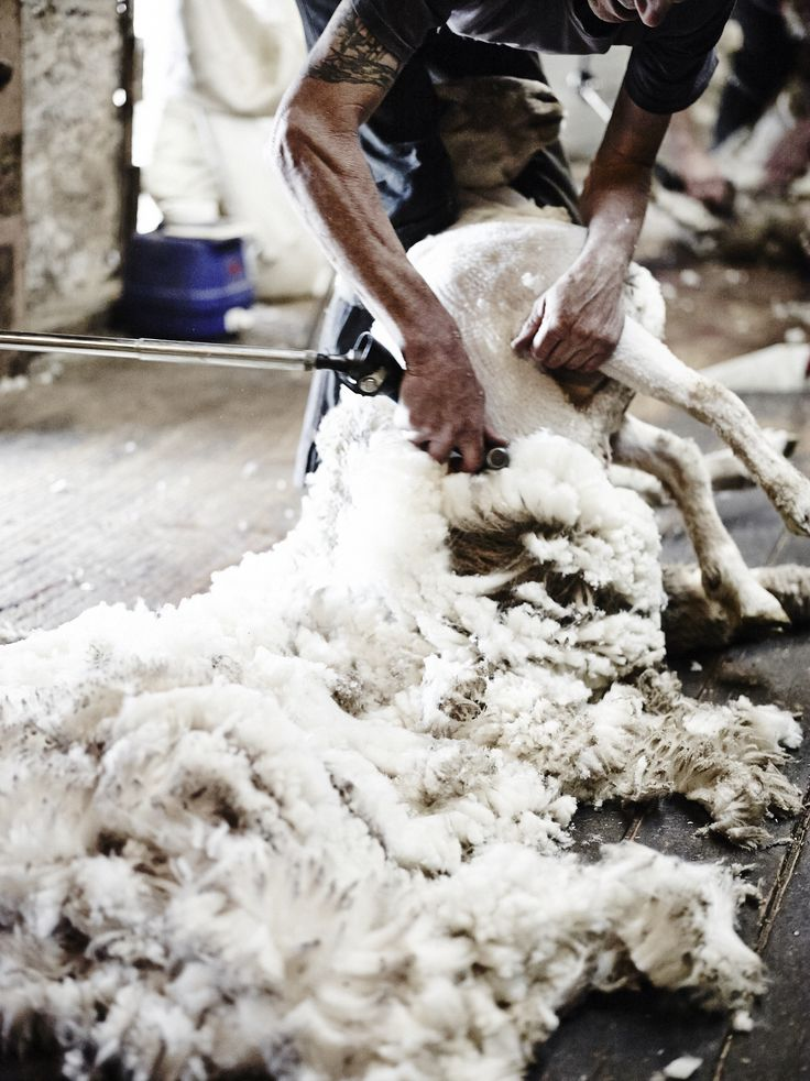 Shearing Day in a local shearing shed, photographed by the wonderful Lisa Cohen. #LOVEWOOL #wool #shearing #LisaCohen #Naracoorte #farm #farmlife #photography #woolbedding #Naracoorte #local #AustralianMade