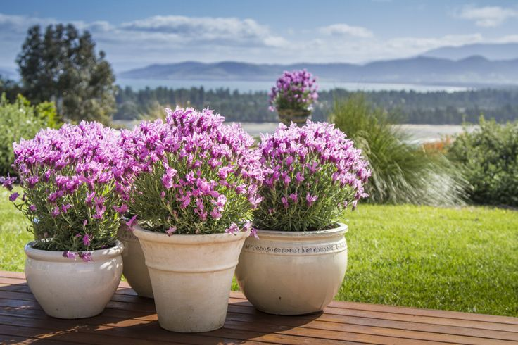 'The Princess' Lavender • Hedging • Use in larger containers • Water wise gardens • Cottage style gardens • Adding fragrance and colour for entertainment areas