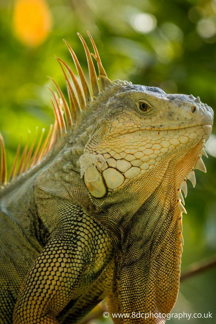 129 best iguana don images on pinterest iguanas lizards and animals