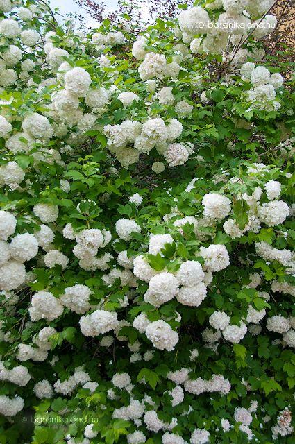 Labdarózsa (Viburnum opulus var. roseum)