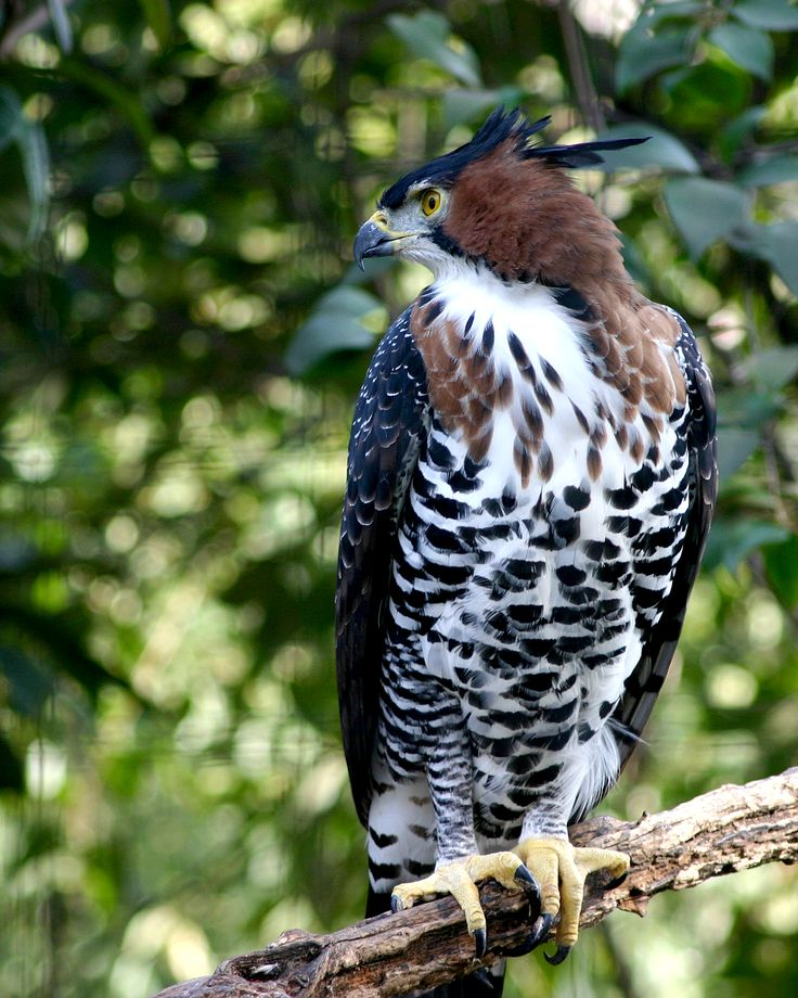 Crowned Eagle Stock Photos & Crowned Eagle Stock Images ...  |African Crowned Eagle Falconry