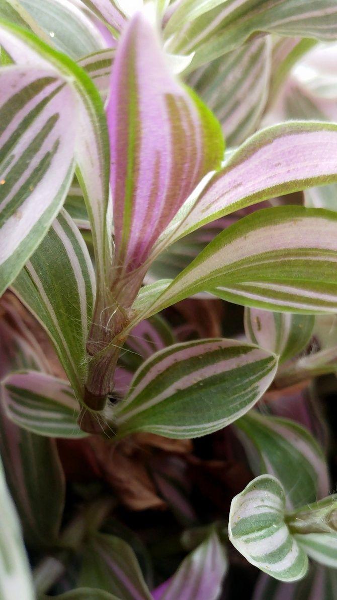 Trzykrotka Wezykowata Plants