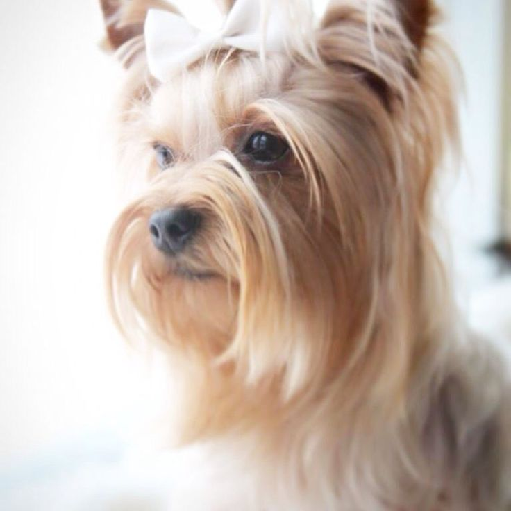 Yorkie  Cookie is her name