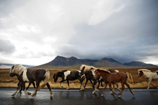 Herd In Iceland Short Doc