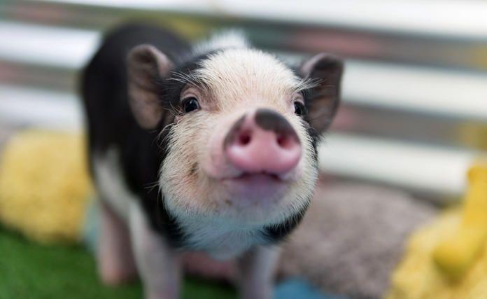 Minischweine Im Garten Halten Minischwein Haustier Schweine Niedliche Schweine