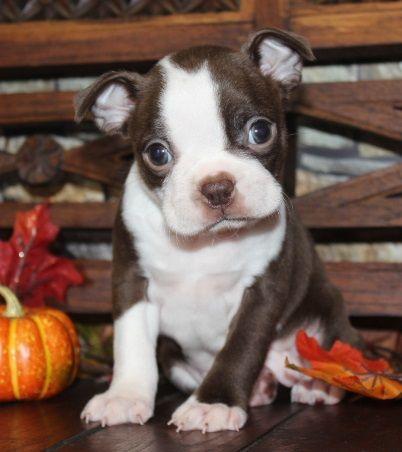 Boston Terrier Puppies For Sale Missouri MO