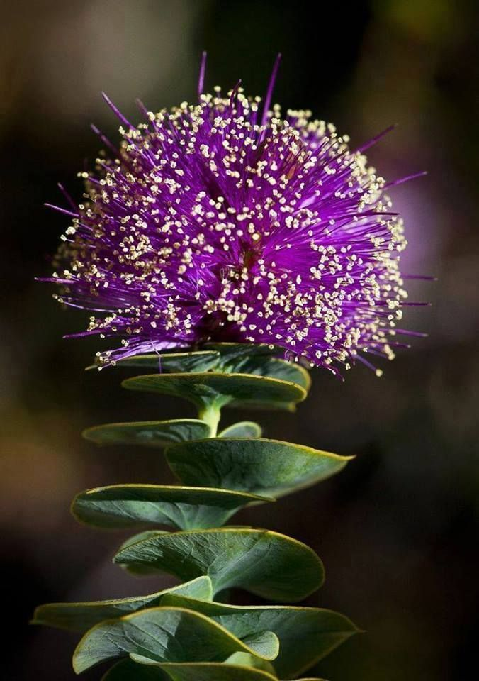 he beautiful affine cirsium This is a species present in the portuguese territory, particularly in mainland portugal, in the archipelago of the azores and Madeira in the archipelago. Climatologia Geográfica