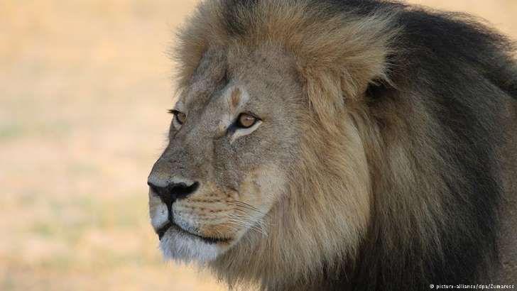 Angola: Número de leões caiu de mil para 30 em doze anos