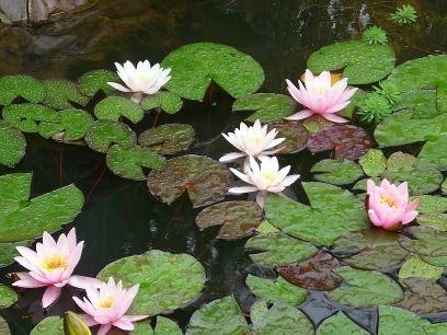 Rośliny i ogród, DZIAŁKA  -  MOJA  RADOŚĆ  -   ROK 2009/2010  -  część  2 - Aż  7  lili  wodnych   w  jeden  dzień  mi  rozkwitło  -  szkoda  tylko  że  trwa  to  tak  krótko