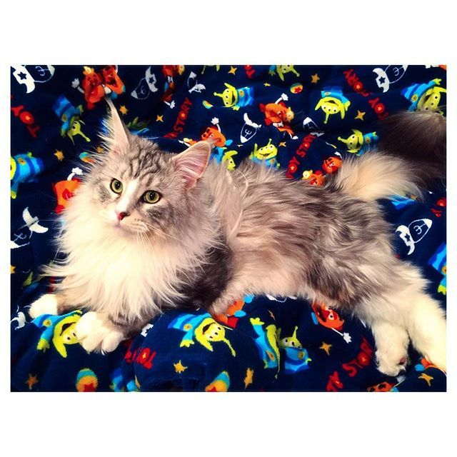 実家でクリスマスパーティーしてそのままお泊まりしたら急遽だったのにまさかのサンタさんキターーー🎅🏽🎁🎄🎉大好きなトイストーリーの毛布、愛猫ちゃん早速お気に入り🙆🏼🙆🏼サンタさんはいるよと未だに言い張る母、あざす🙏❣️🙏❣️🙏 #MerryXmas #メリクリ #クリスマスパーティー #クリスマスプレゼント #サンタさん #ありがとう #愛猫 #猫 #ねこ #cat #にゃんこ #メインクーン
