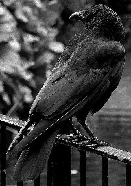 Eric Stampfli photography #crow #Raven by Hitch - What a stunning raven!