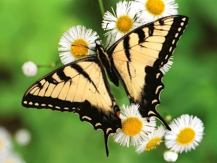 Papatya üzerine konmuş kelebek