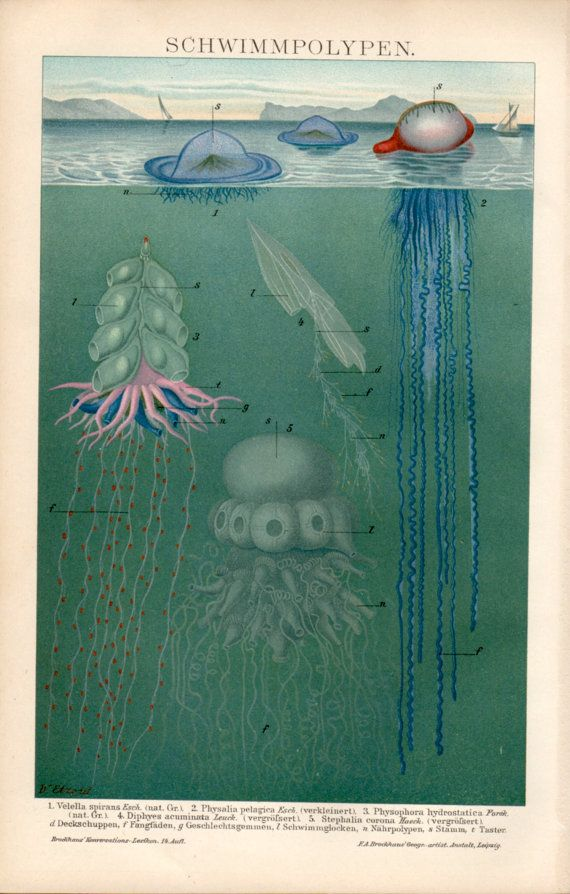 1898  Siphonophores Print Antique Print Vintage by Craftissimo, €24.95