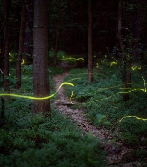 This is beautiful. They are fireflies photographed with a slow shutter speed.