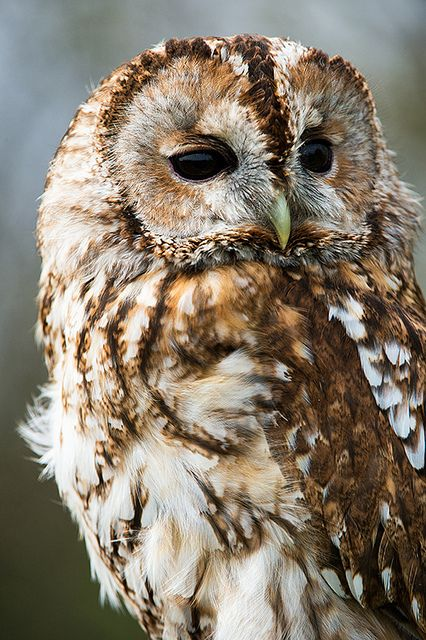 """Owl are you, Mr. Tawny Owl?"""