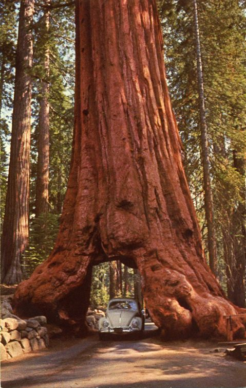 drive-through redwood tree in the Mariposa Grove, Yosemite National Park, California.