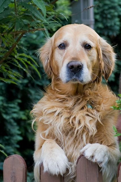191 Best I Love Golden Retrievers Images On Pinterest
