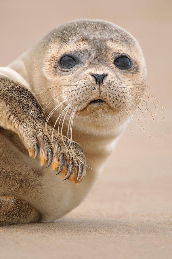 De zeehond, een icoon voor de Waddenzee toch? Prachtige dieren.