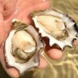 Ferguson Australia - Pacific Oysters freshly shucked