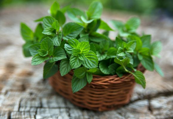 A hortelã pode atuar como repelente natural em sua casa (Foto: Shutterstock)