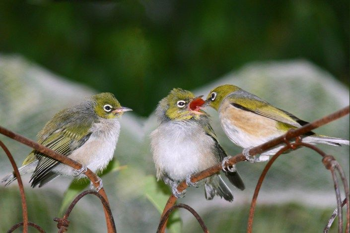 Attracting birds (especially native birds) to your garden with food and shelter.