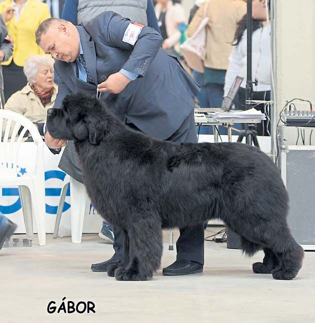 Historic win for Jagd #Terrier - Report and photos: Gabor Szalanczi #dogs #dogshows #dogshowing #Overseas
