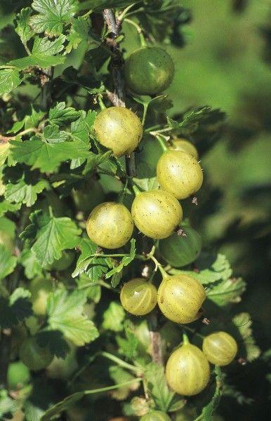 Ribes uva-crispa 'Lady Sun' (nagenoeg doornloos)