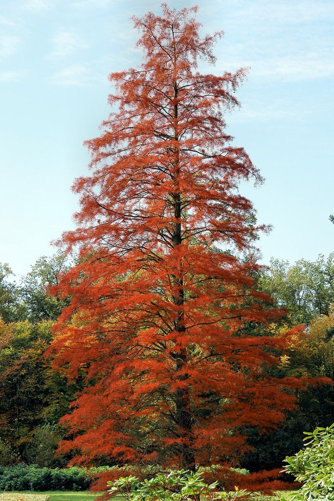 taxodium distichum - Поиск в Google