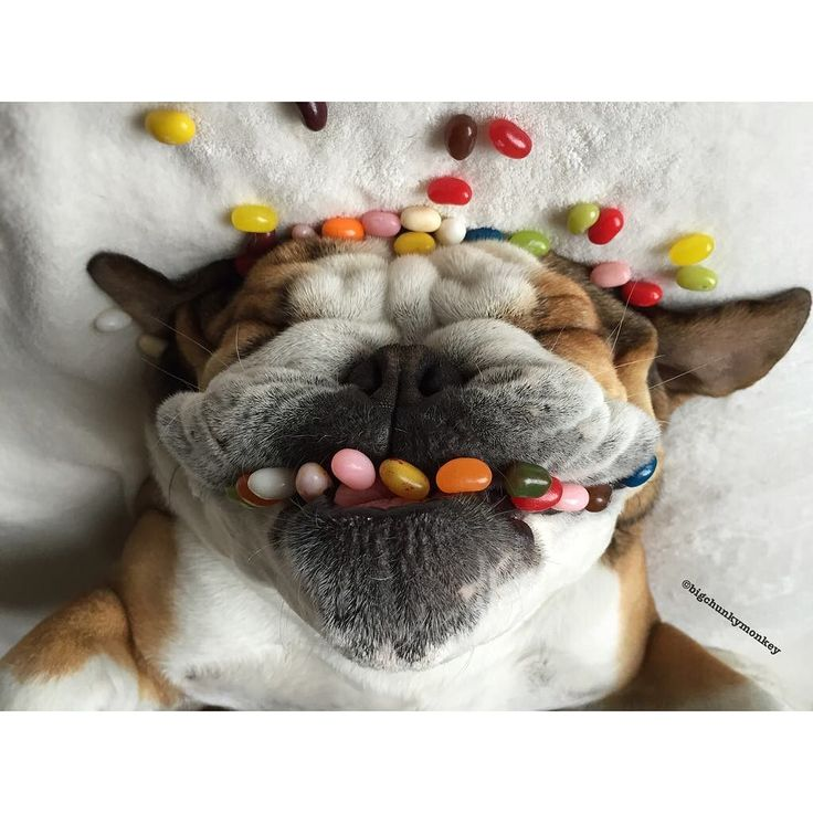Don't we all wish we had braces this SWEET #HappyJellyBeanDay #HappyFriday My Sweet friend @_darlin_clementine Informed me it was @wrinklesthedestroyer birthday For every post using #SillyPupPawty they will donate $1 to their local Humane Society. Happy birthday by bigchunkymonkey