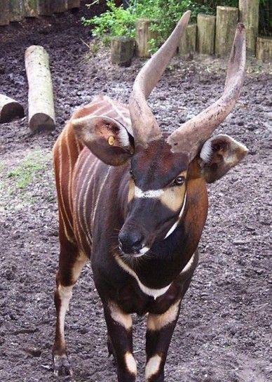 Bongo - Il bongo è un'antilope che vive nell'Africa centrale, nelle foreste pluviali. Ha corna a spirale.