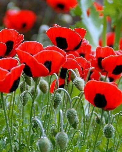 wild poppy flowers on - photo #12