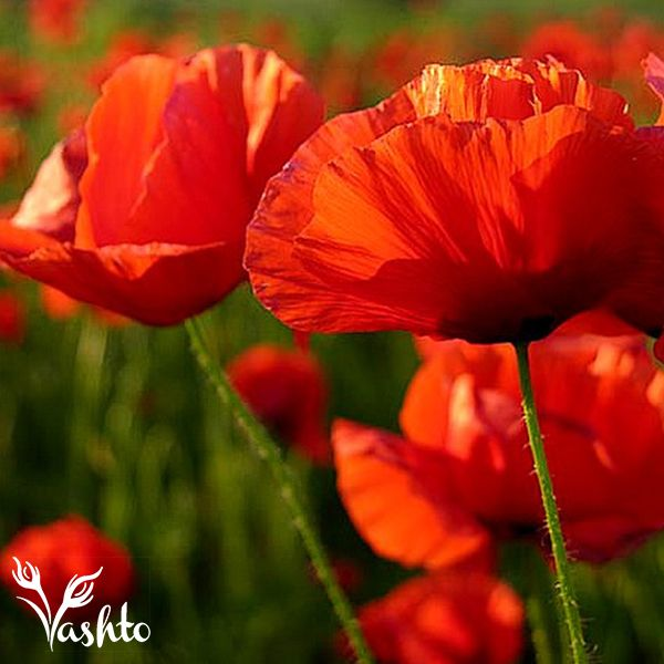 POPPIES - This happy flower needs no introduction for this spring flower. When you see these, you know that winter is almost over.