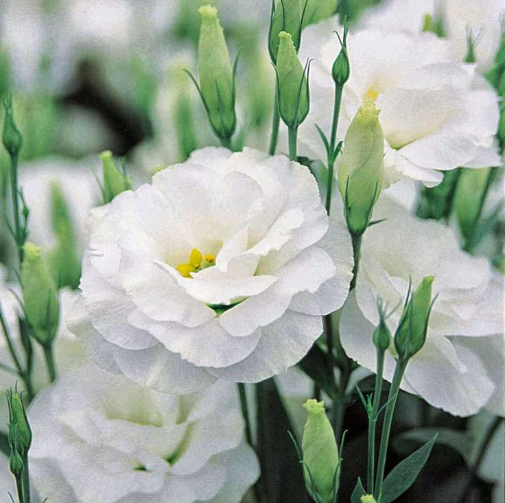 Perennial Plants for Sale, flower plants, lisianthus ...