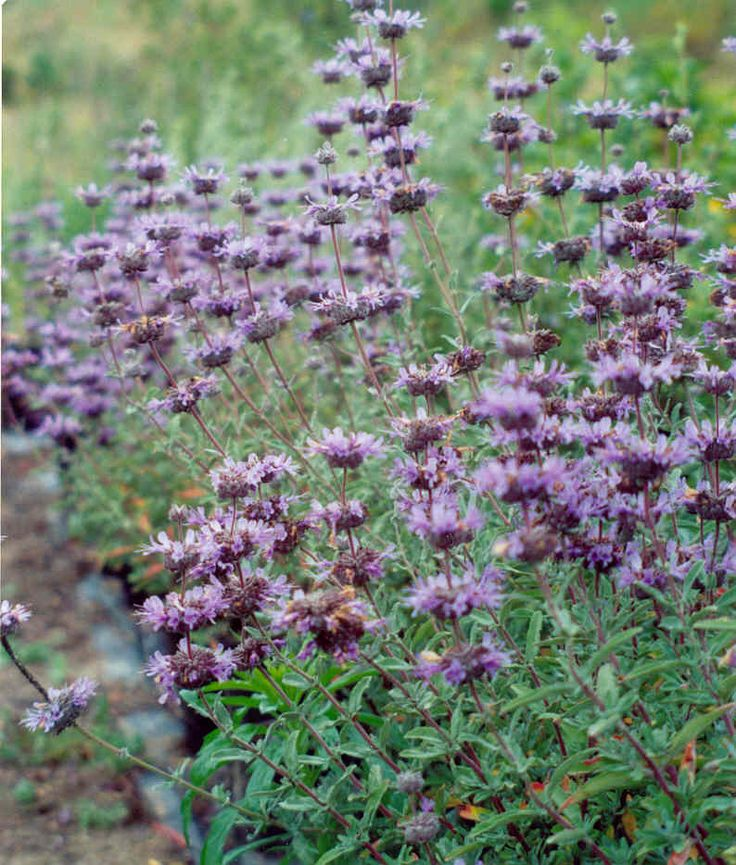 salvia clevelandii - cleveland sage. Fragrant, edible, feeds hummingbirds. Dried seed stalks feed numerous other birds. Win/Win plant