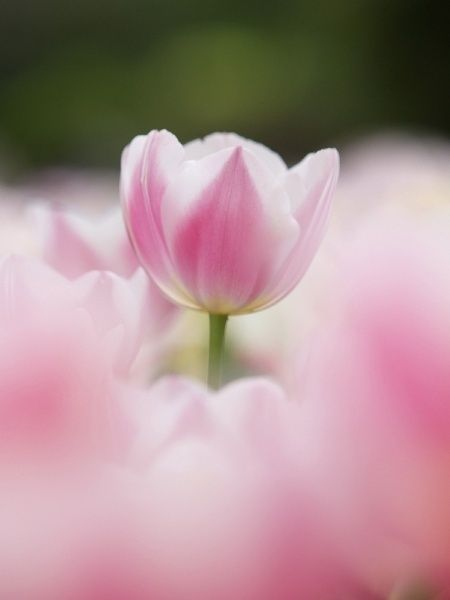 Beautiful tulip Love Moments