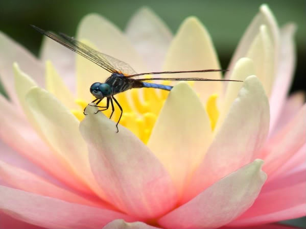 Dragonfly on a Lotus Flower....  .....what a combination.....