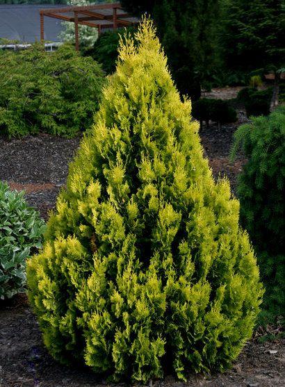 Thuja orientalis ' Weedom ' Dwarf Narrow Chinese Arborvitae - Kigi Nursery