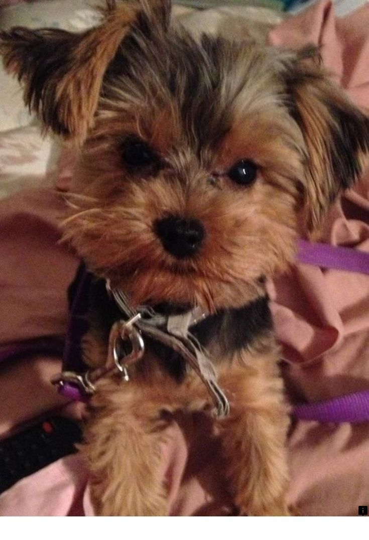 Find Out About Puppies For Adoption Please Click Here For More Enjoy The Website Yorkshire Terrier Puppies Yorkshire Terrier Yorkshire Terrier Dog