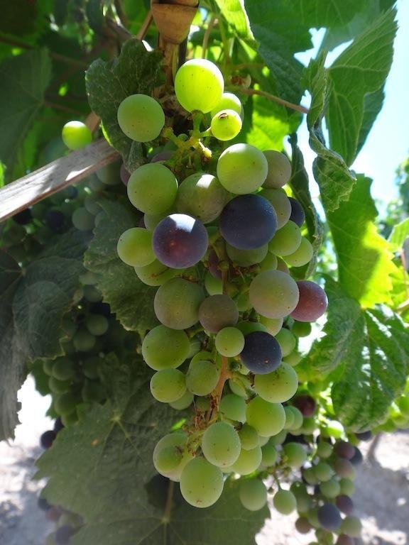 Malbec grapes  on the vine From @CatenaMalbec Muy buenas noticias desde los vinedos! El primero envero en el #Malbec! @winesofarg @winesur #Harvest2013 pic.twitter.com/0e77TVFG