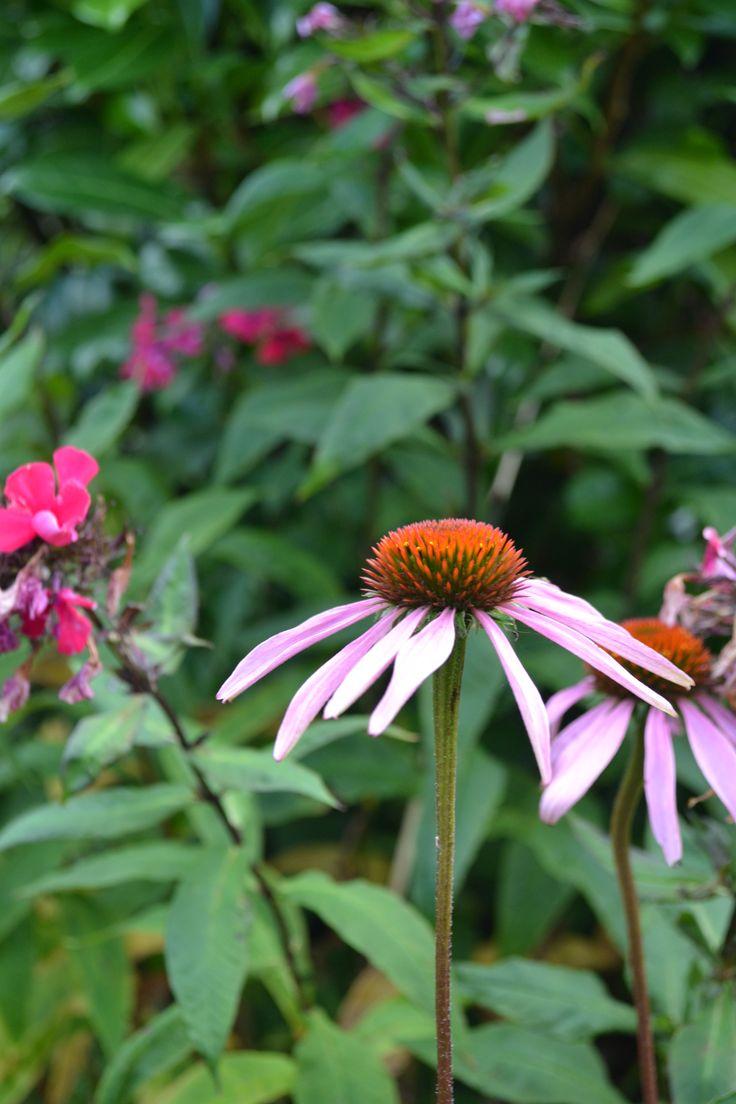 Echinacea pupurea