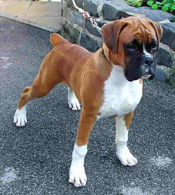 LOOK AT THIS BABY....HE THINKS HE IS SO BIG AND TOUGH!  Beautiful Boxer