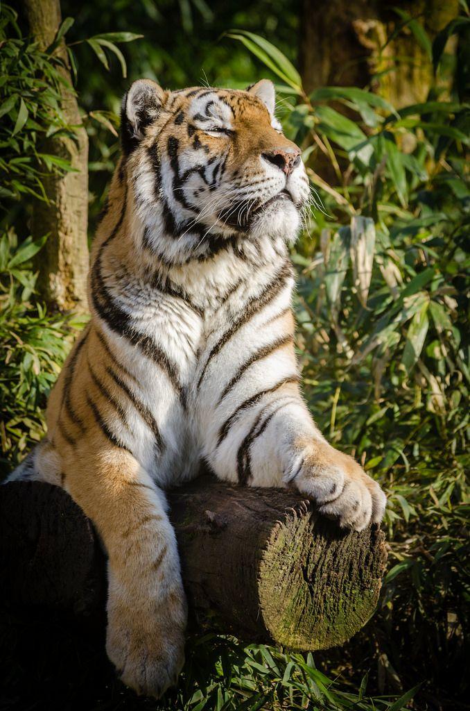 Tiger enjoying the sun by Mathias Appel