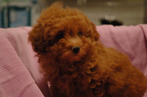 Red Teacup Poodle Puppy Poodles cor-de-rosa, red